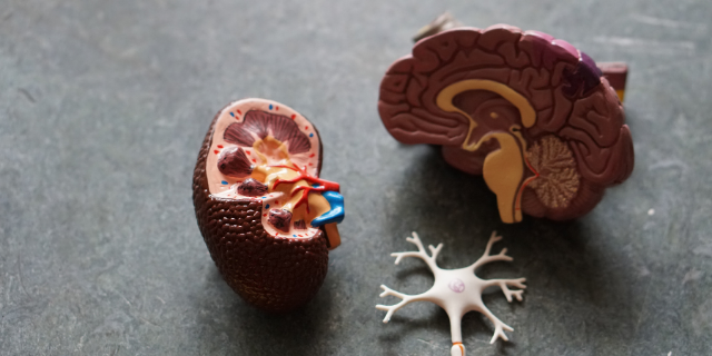 A plastic model of a human brain and neuron sits on a table
